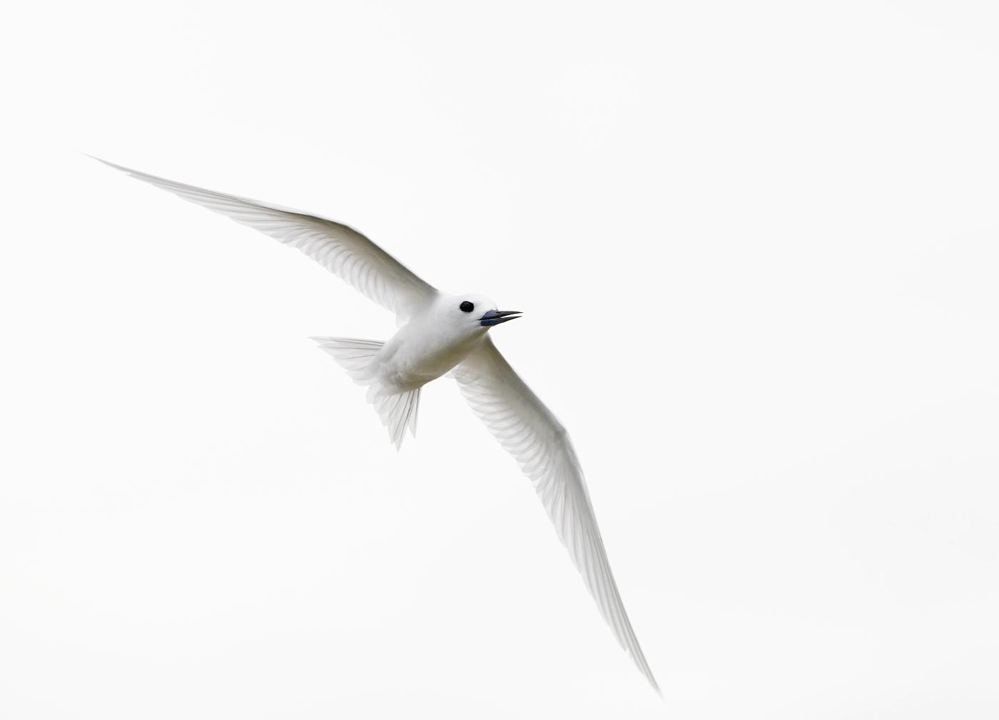 White Tern (Image ID 35133)