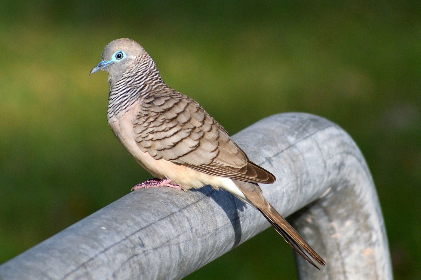 Peaceful Dove (Image ID 35441)