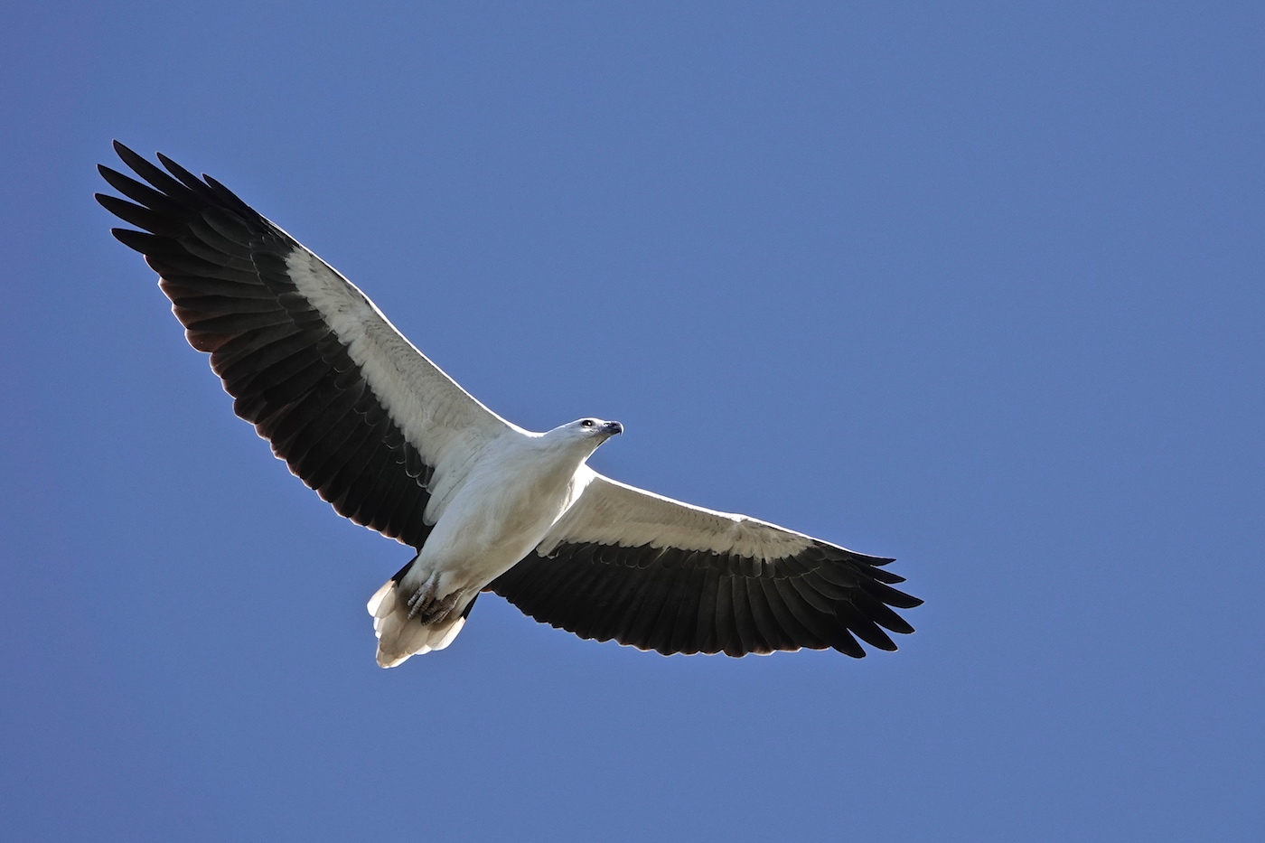 White-bellied Sea-Eagle (Image ID 35297)
