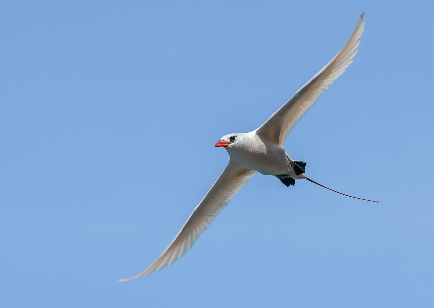 Red-tailed Tropicbird (Image ID 35241)