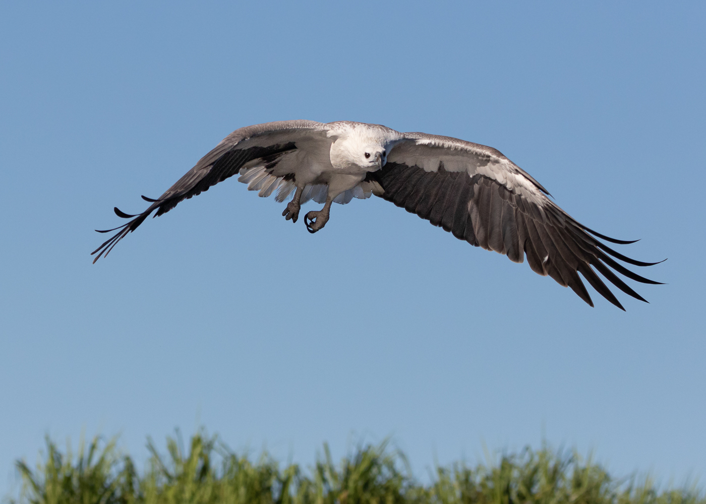 White-bellied Sea-Eagle (Image ID 35516)