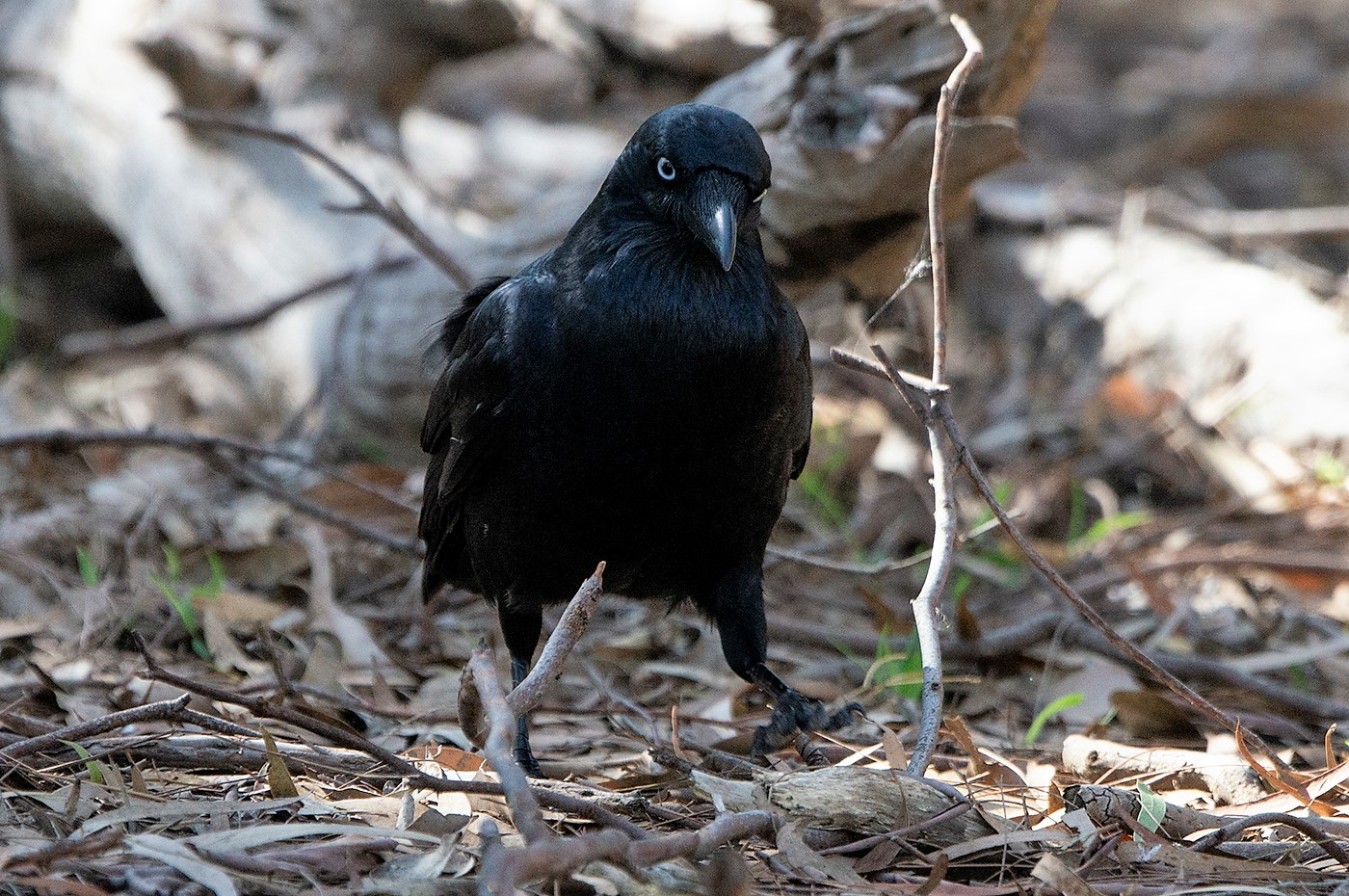 Little Raven (Image ID 35338)