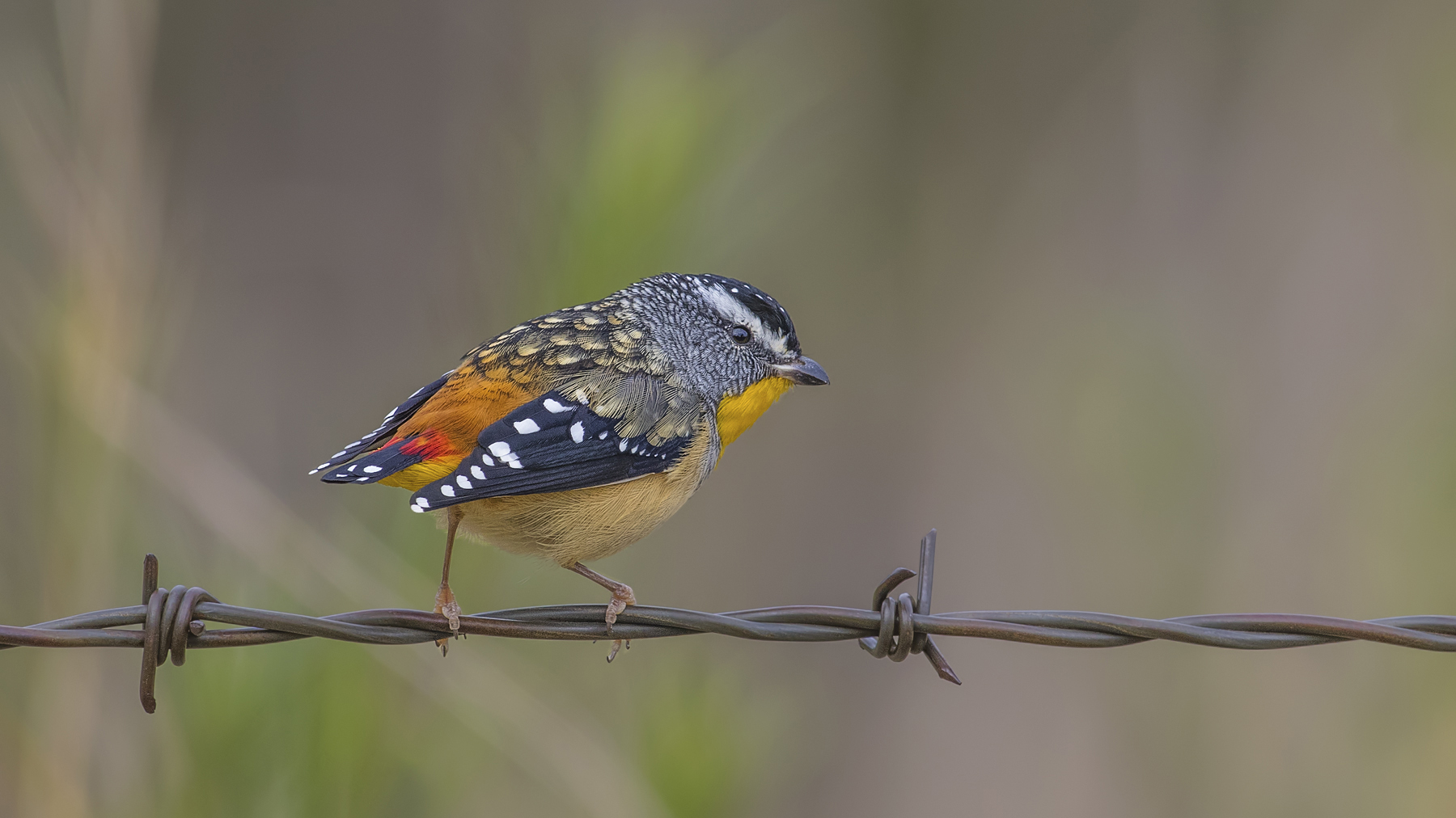 Spotted Pardalote (Image ID 35317)