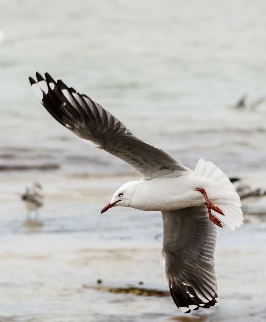 Silver Gull (Image ID 35101)