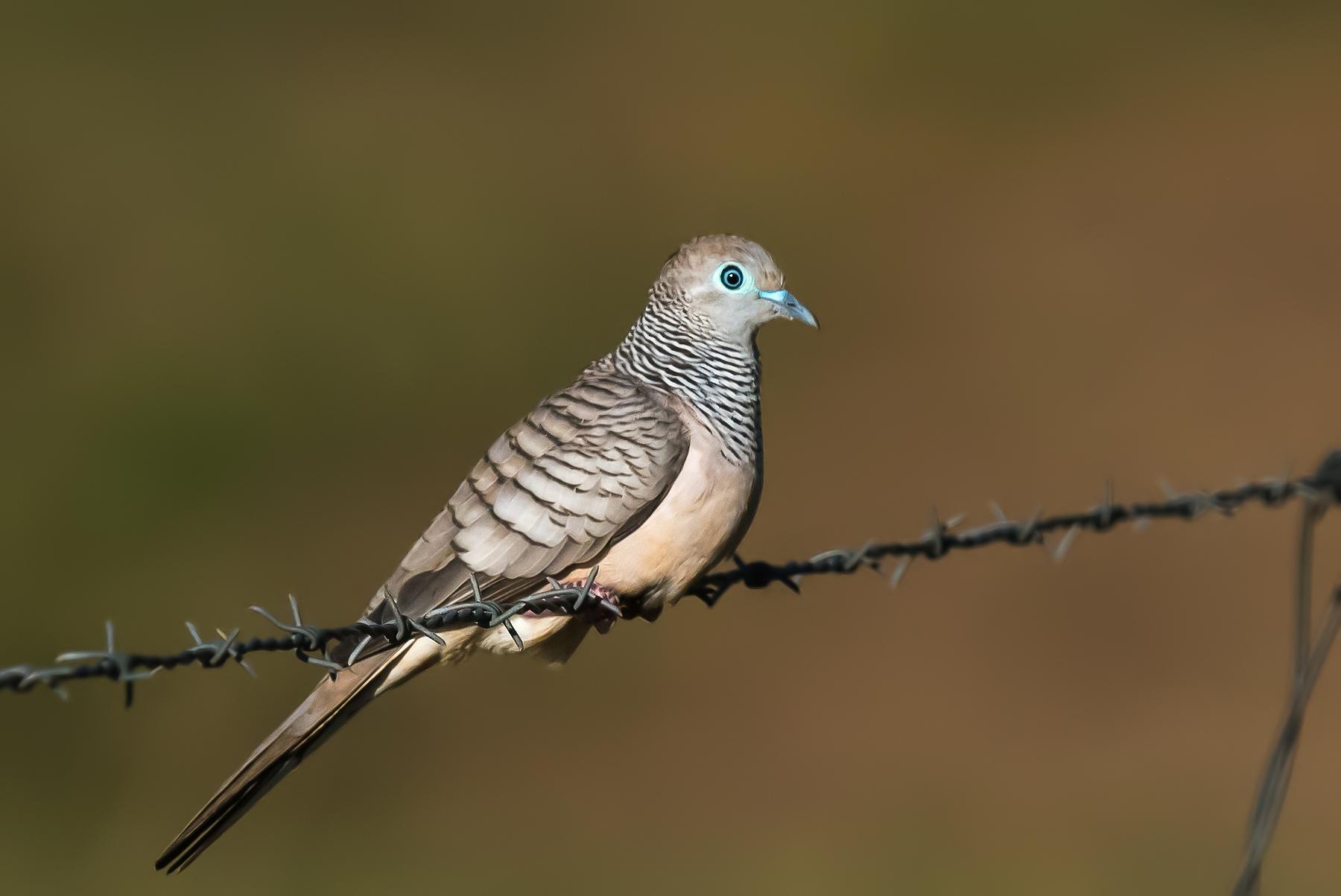 Peaceful Dove (Image ID 35272)