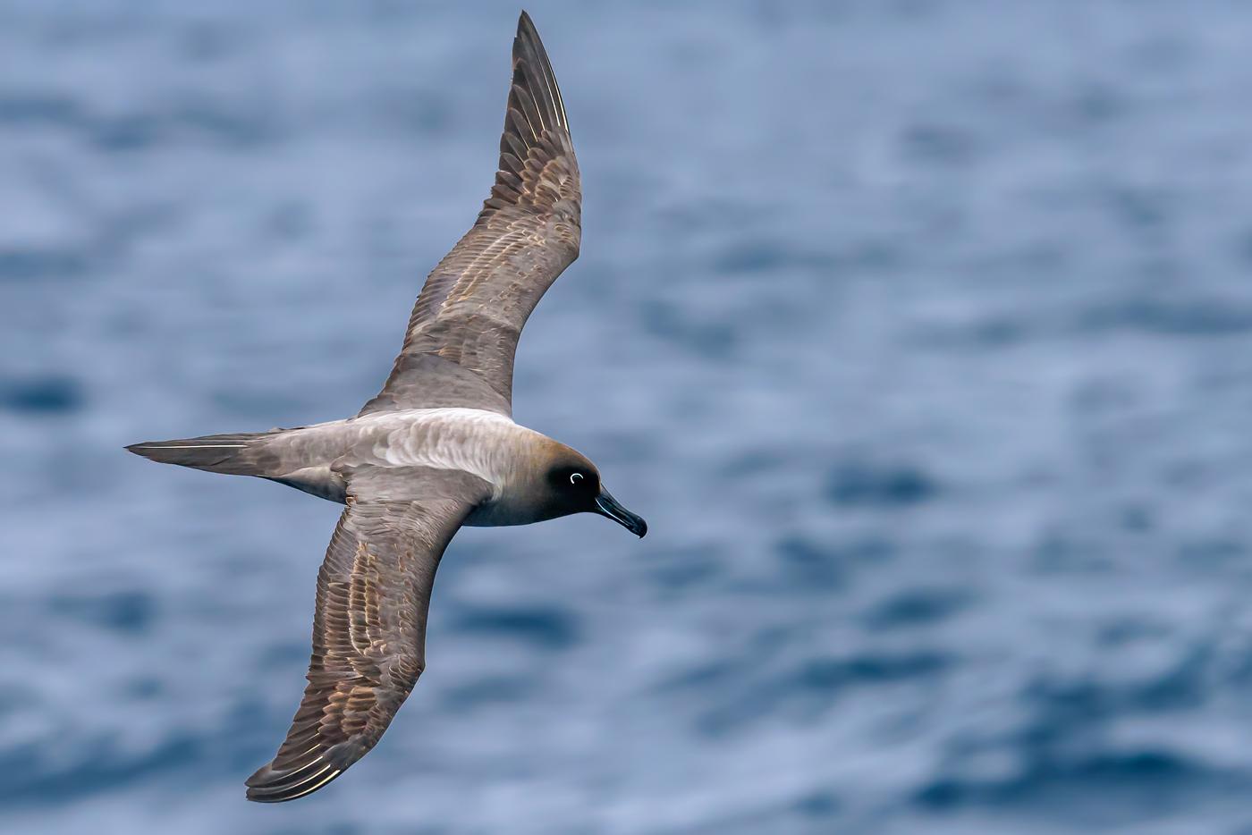 Light-mantled Sooty Albatross (Image ID 35121)