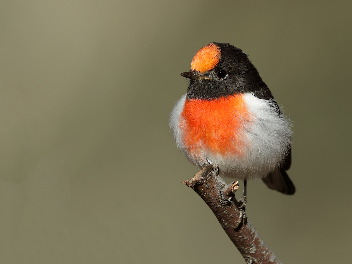 Red-capped Robin (Image ID 35255)