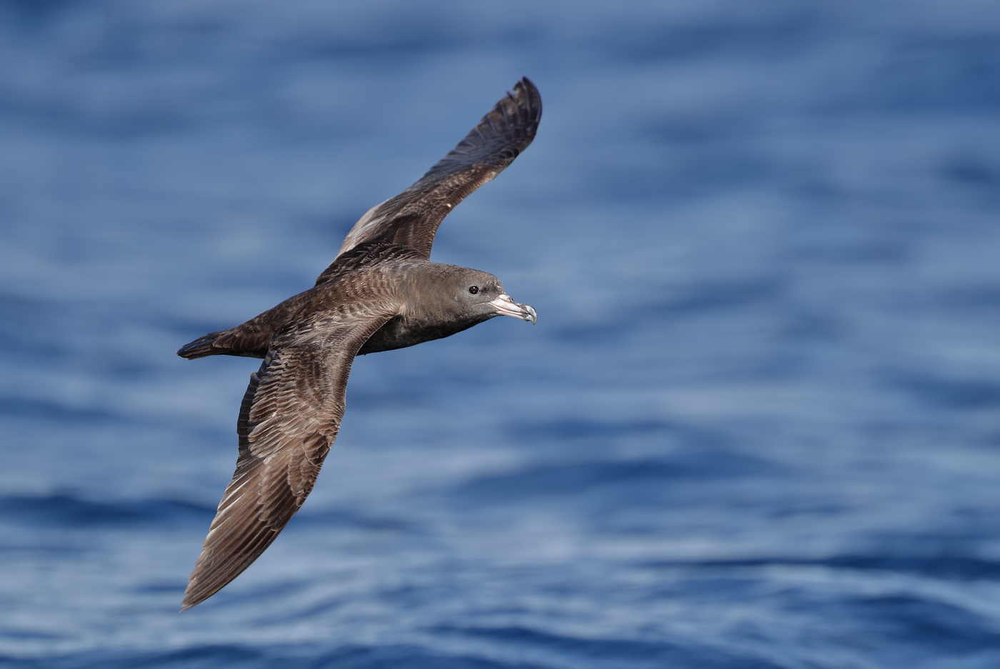 Flesh-footed Shearwater (Image ID 35351)