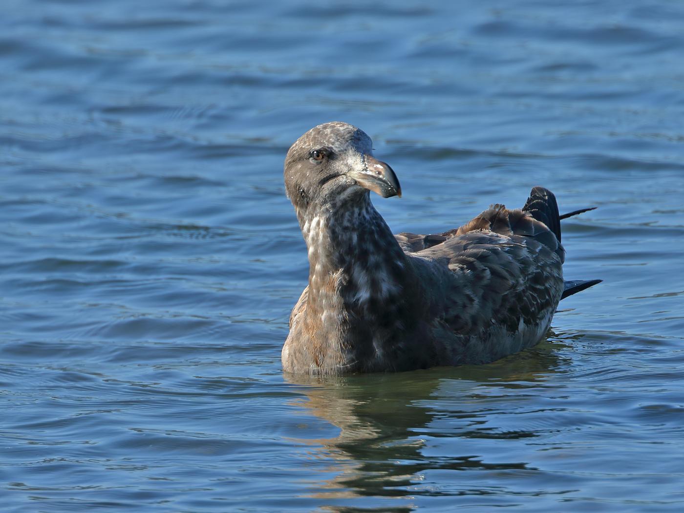 Pacific Gull (Image ID 35449)