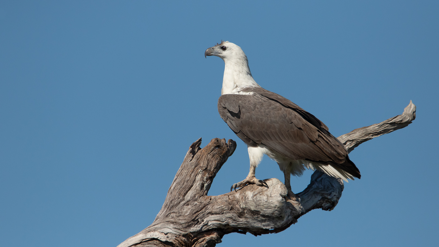 White-bellied Sea-Eagle (Image ID 35517)