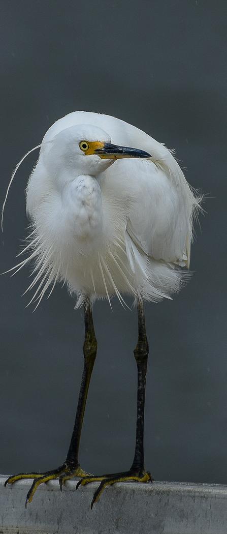 Little Egret (Image ID 35409)