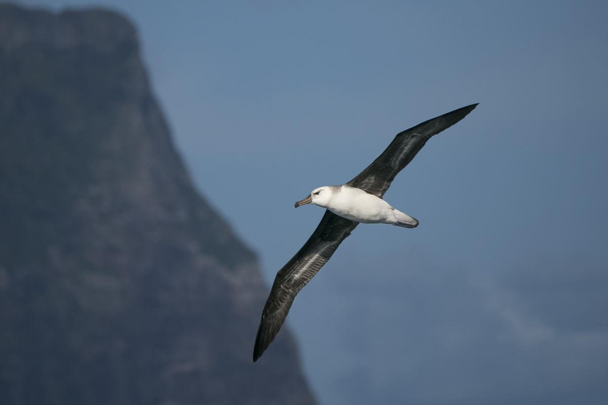 Black-browed Albatross (Image ID 35195)