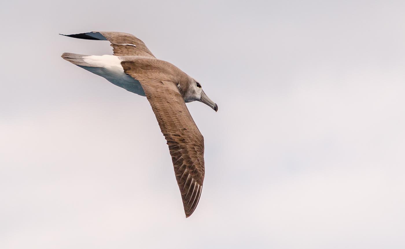 Shy Albatross (Image ID 35522)