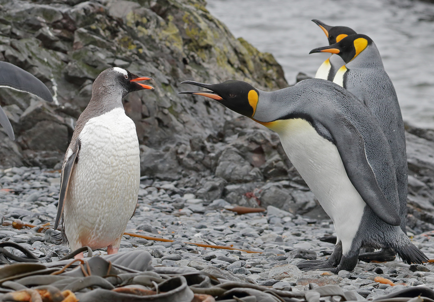 Gentoo Penguin, King Penguin (Image ID 35508)
