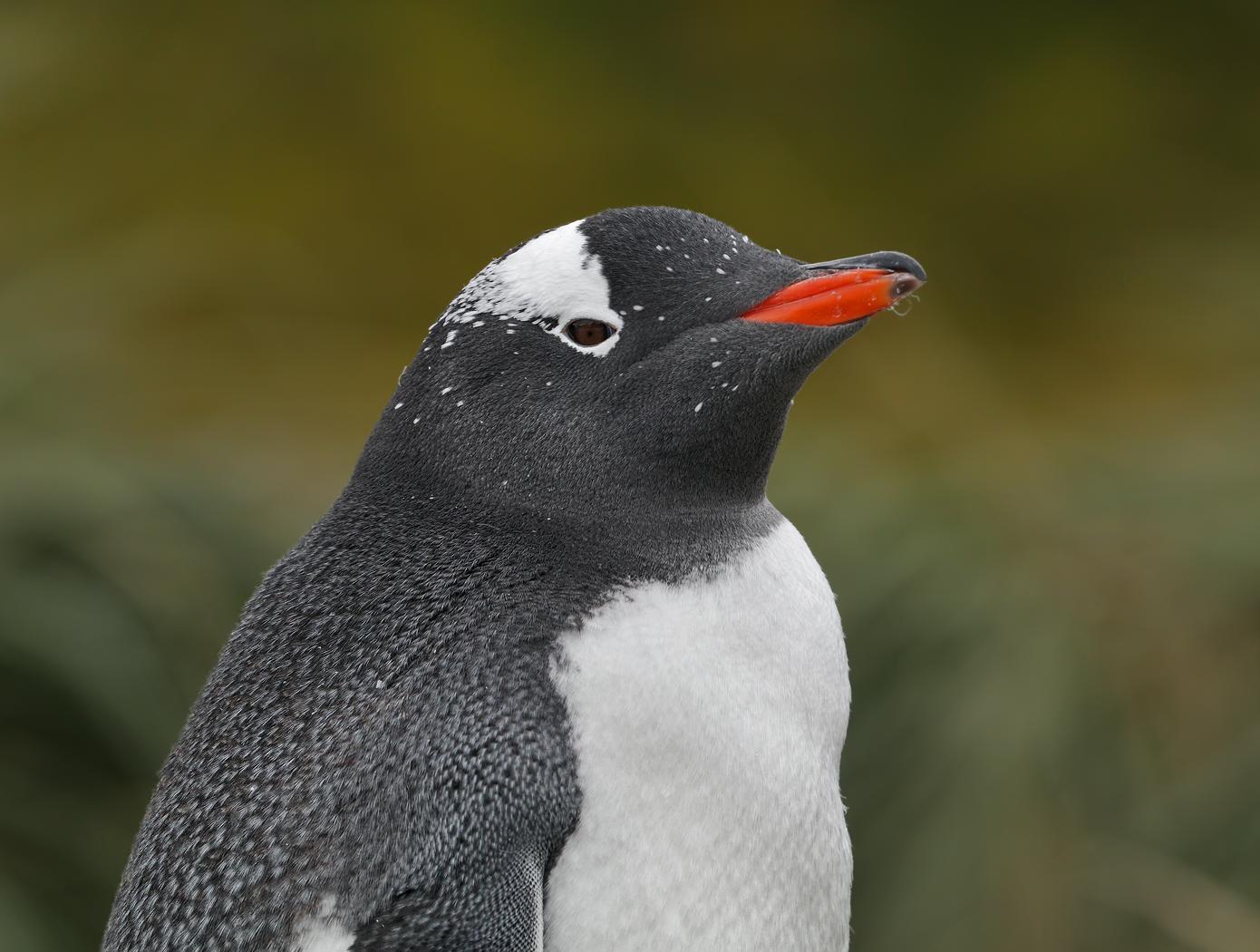 Gentoo Penguin (Image ID 35333)