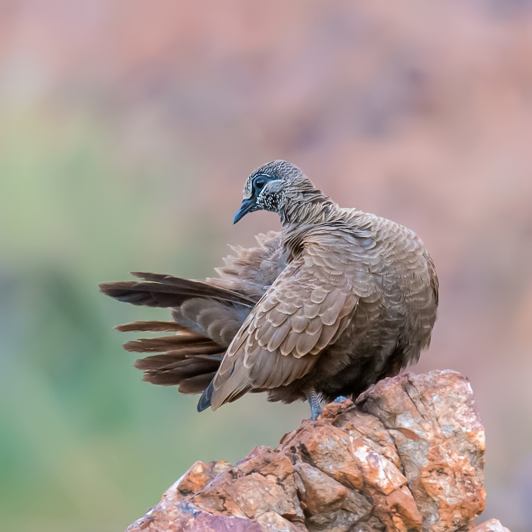 White-quilled Rock-Pigeon (Image ID 35167)