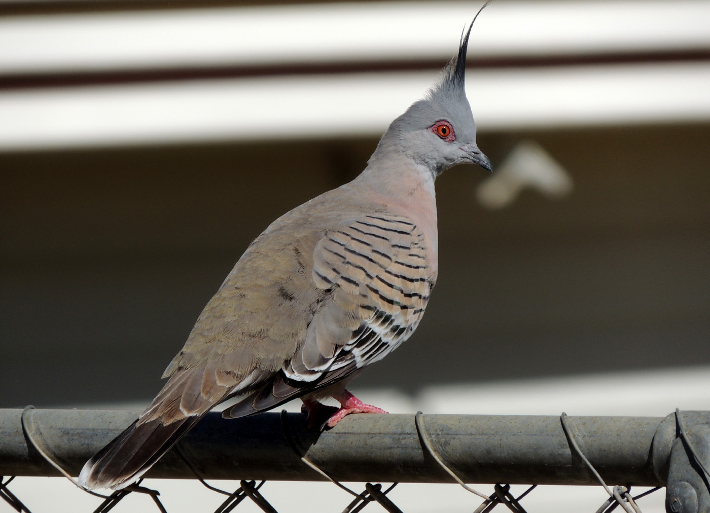 Crested Pigeon (Image ID 35342)
