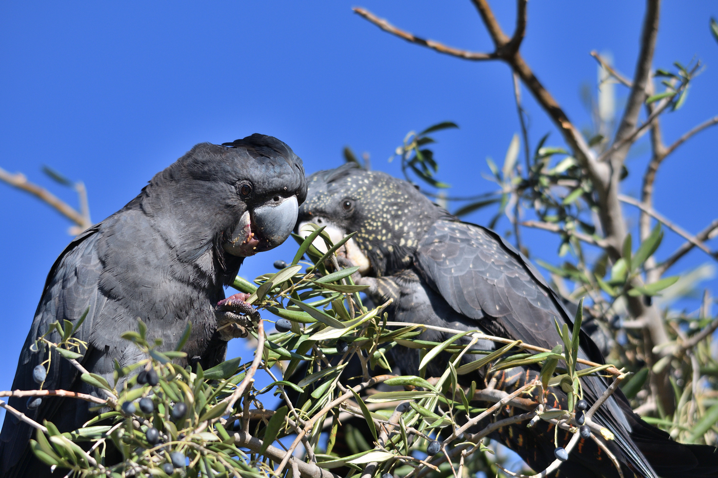 Red-tailed Black-Cockatoo (Image ID 35444)