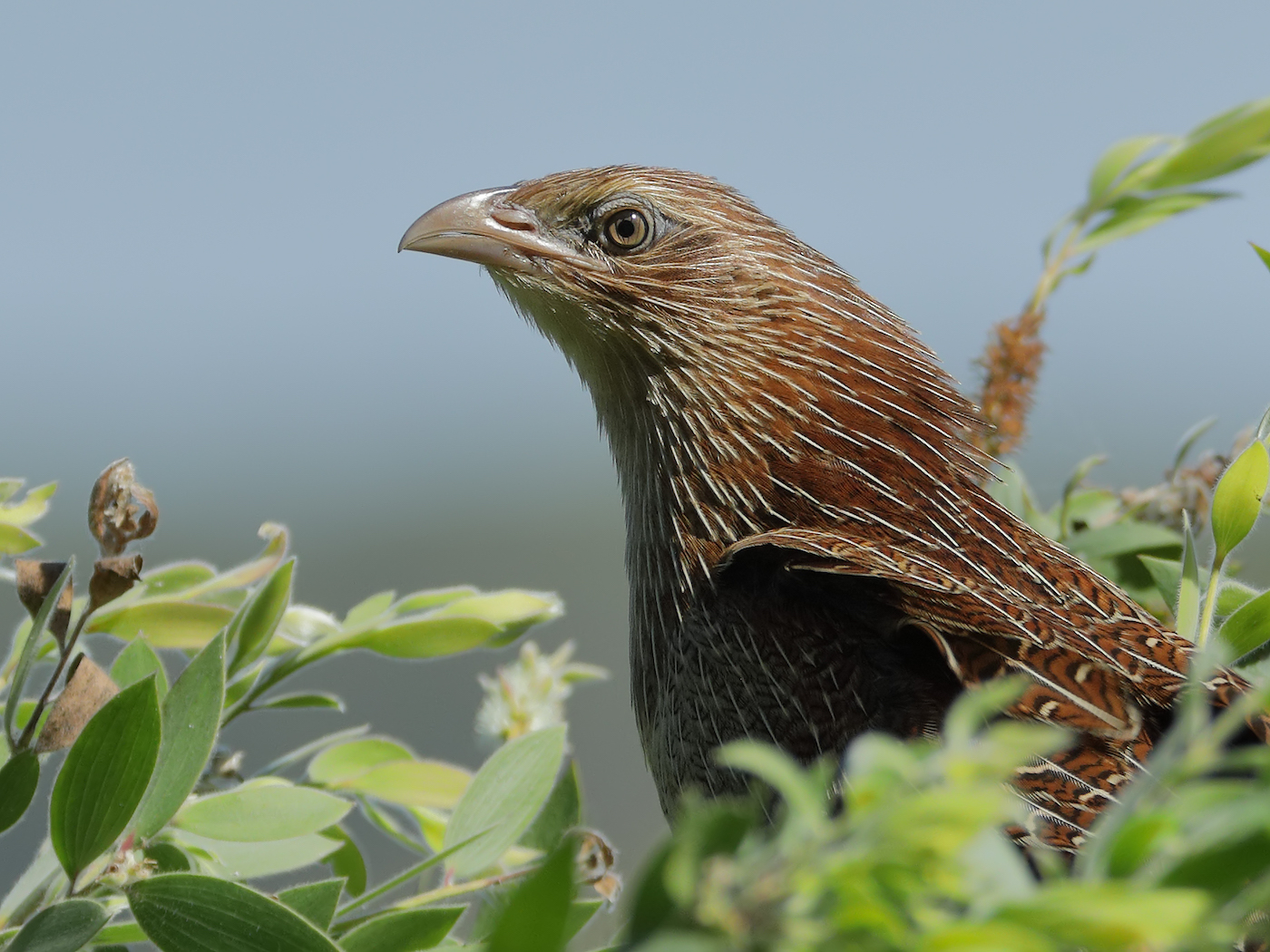 Pheasant Coucal (Image ID 35536)