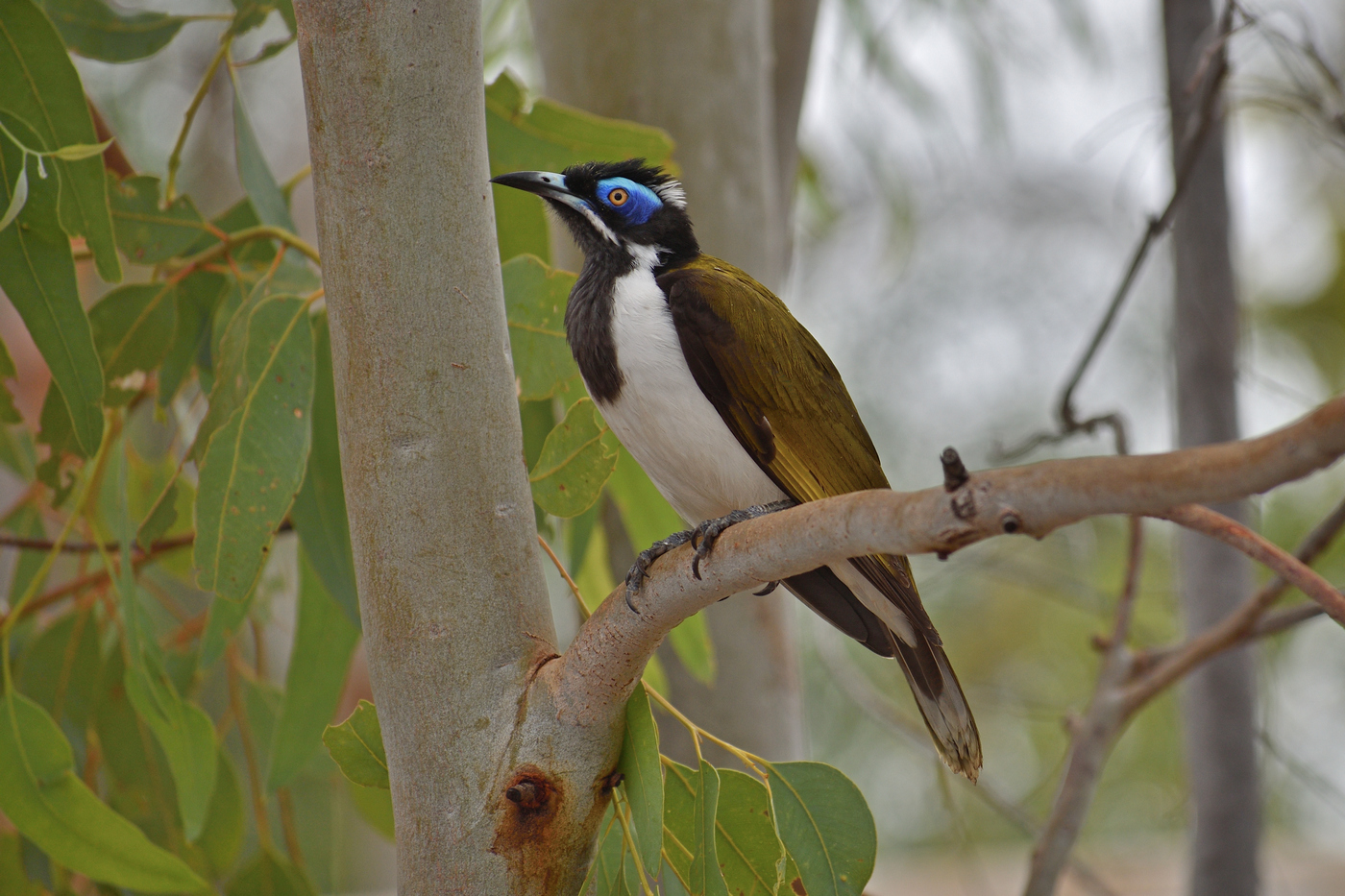 Blue-faced Honeyeater (Image ID 35435)