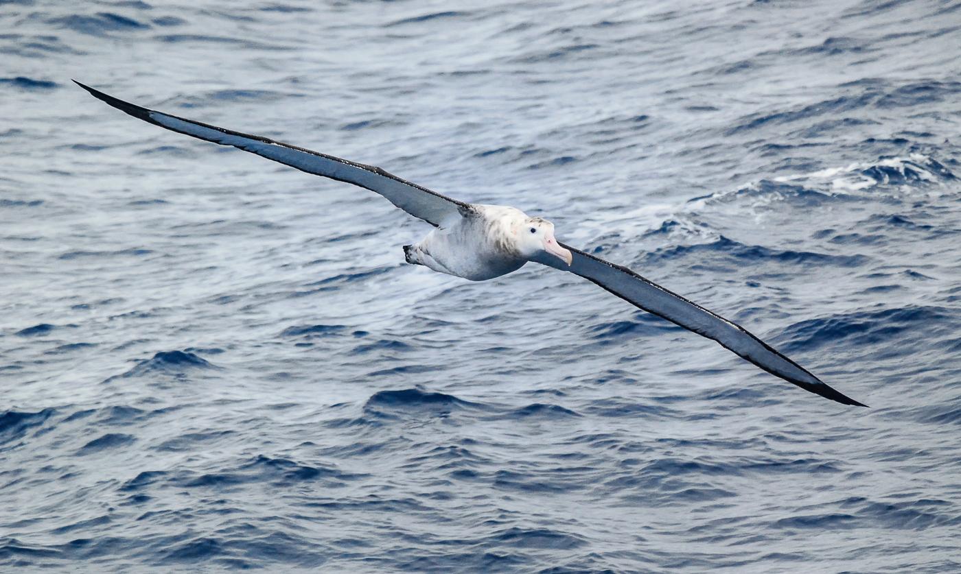 Wandering Albatross (Image ID 35525)