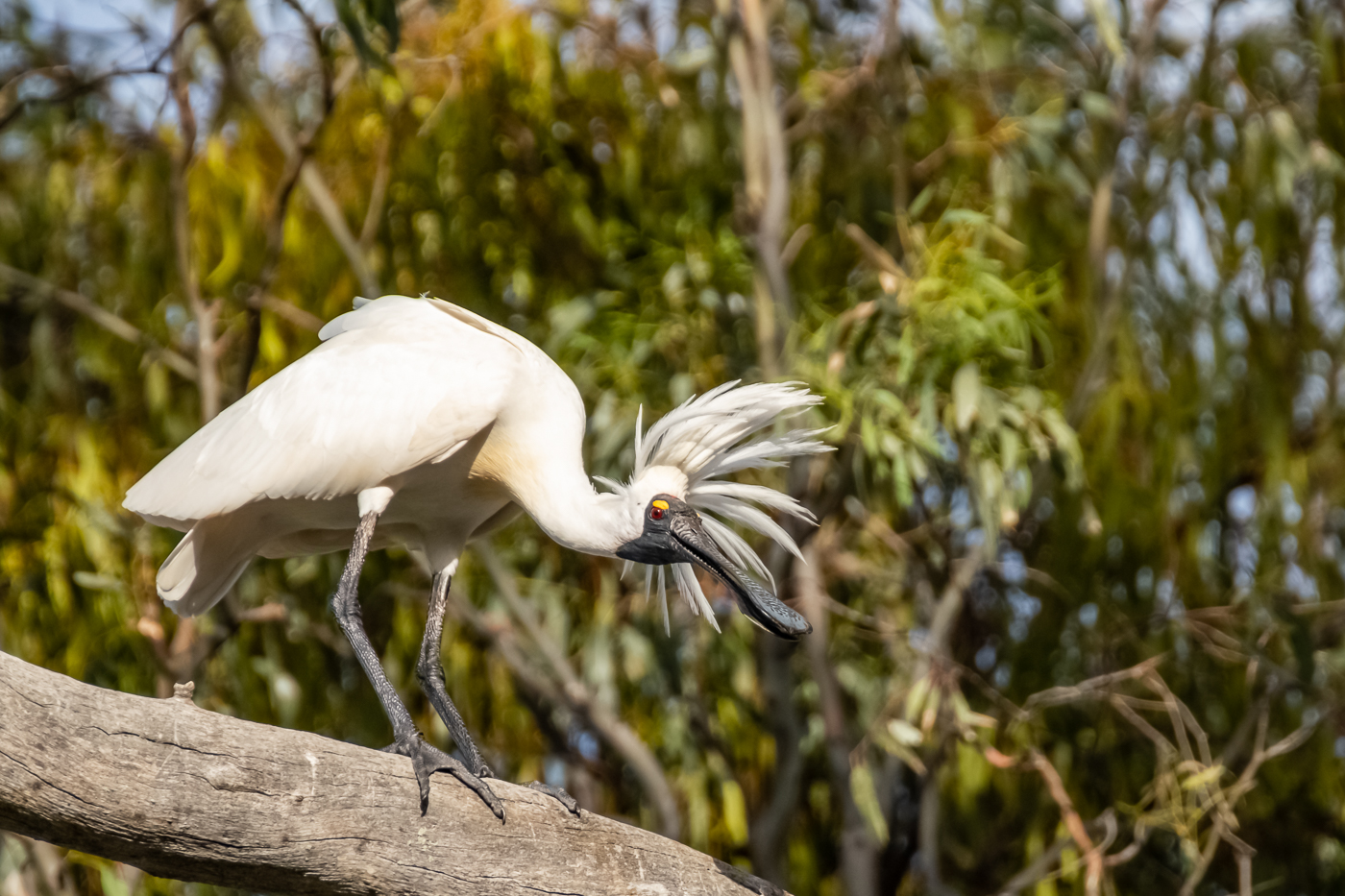 Royal Spoonbill (Image ID 35220)