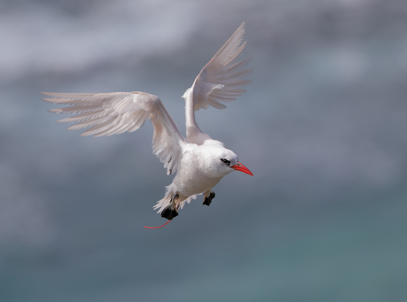 Red-tailed Tropicbird (Image ID 35425)