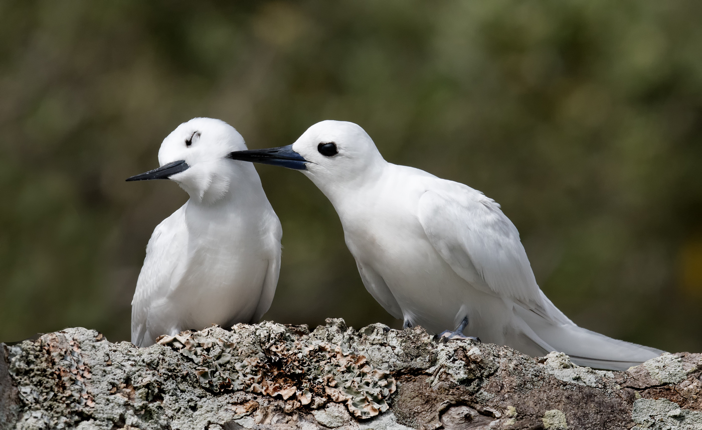 White Tern (Image ID 35149)