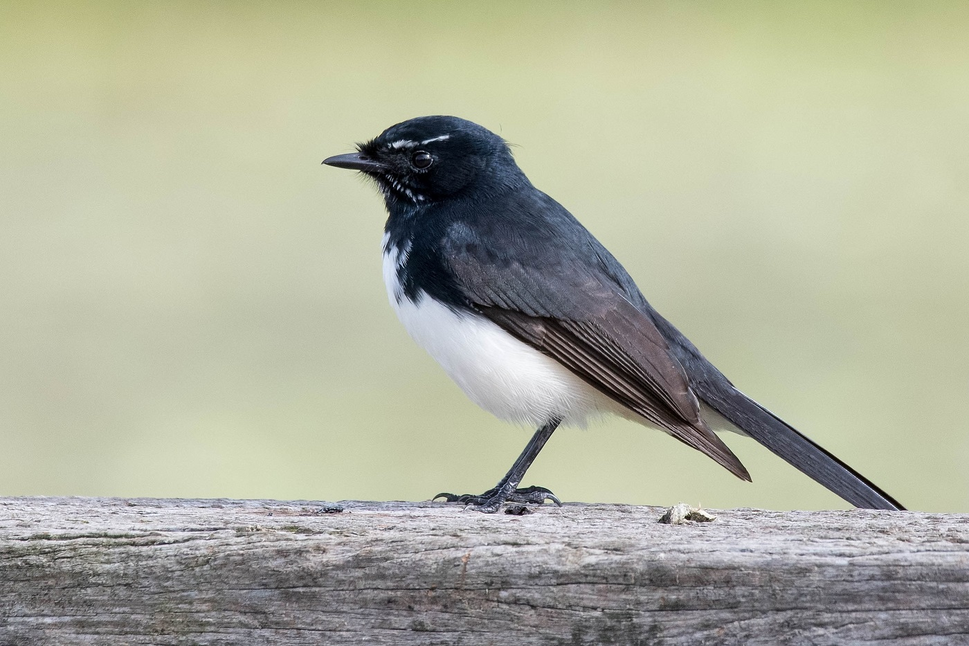 Willie Wagtail (Image ID 35471)