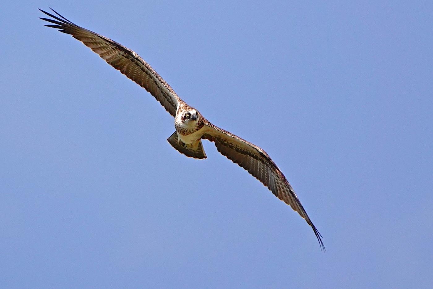 Osprey (Image ID 35496)