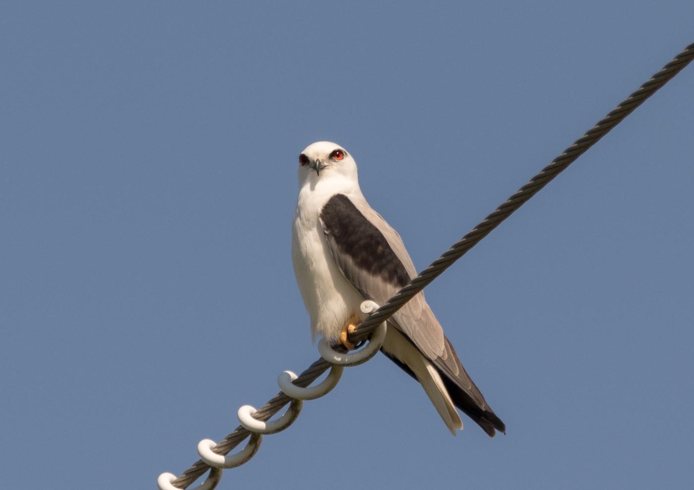 Black-shouldered Kite (Image ID 35401)