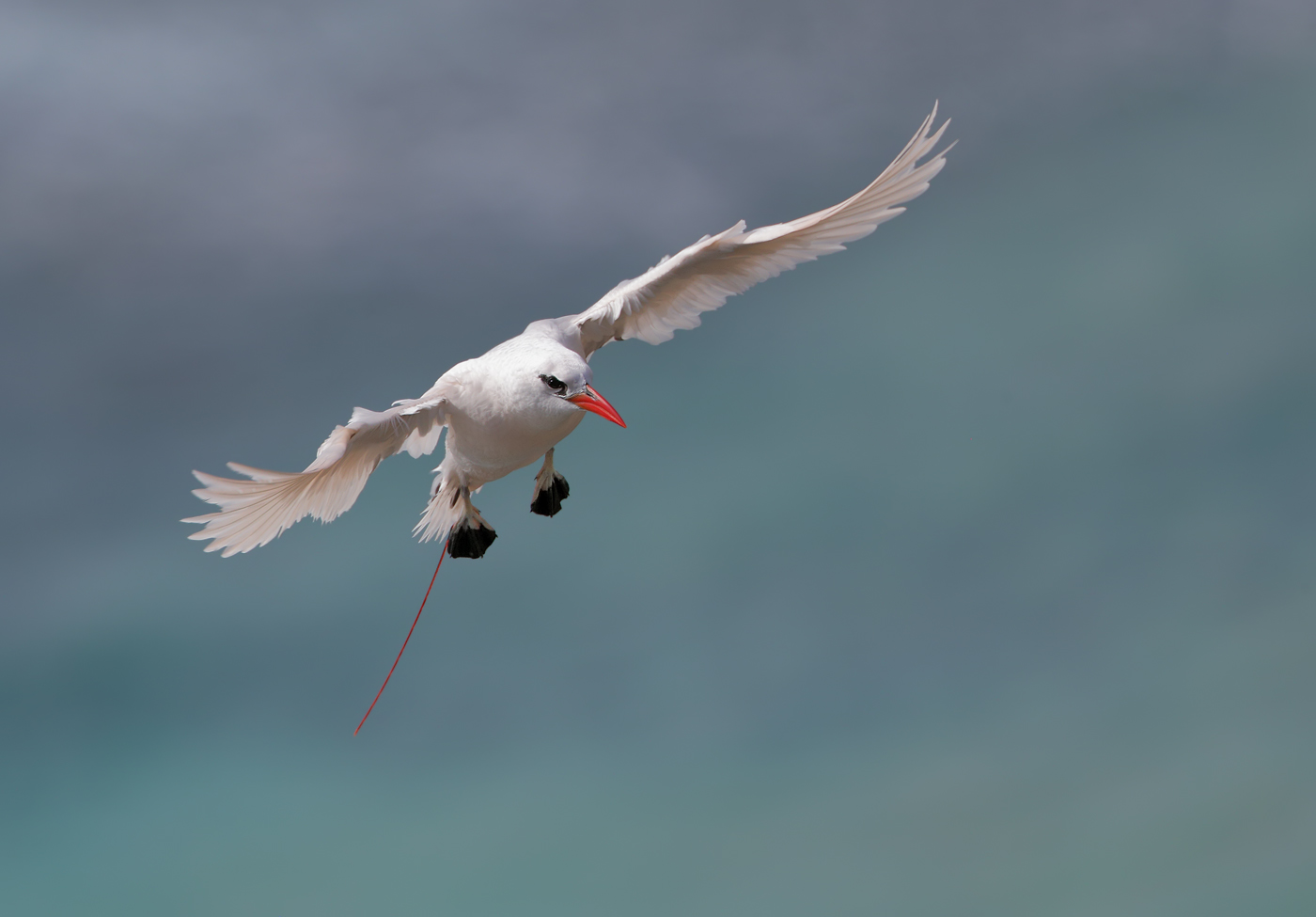 Red-tailed Tropicbird (Image ID 35424)