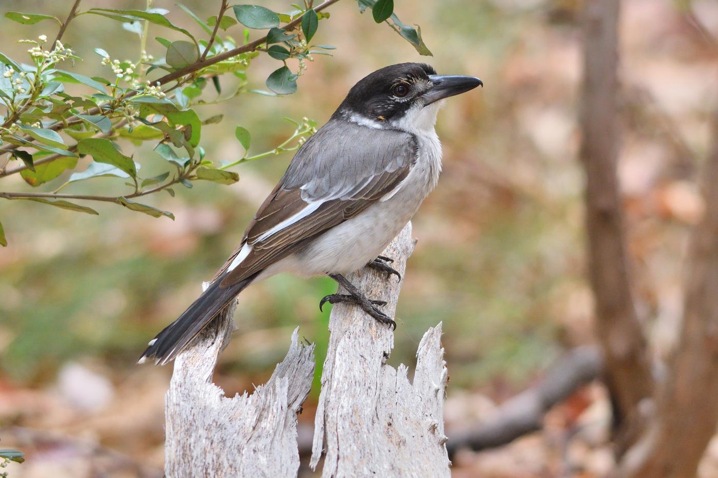 Grey Butcherbird (Image ID 35439)