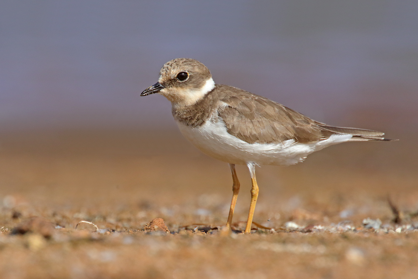 Little Ringed Plover (Image ID 35214)