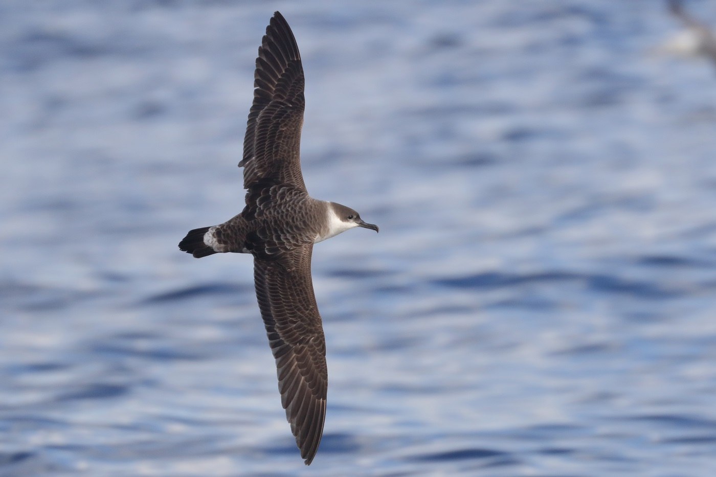 Great Shearwater (Image ID 35499)