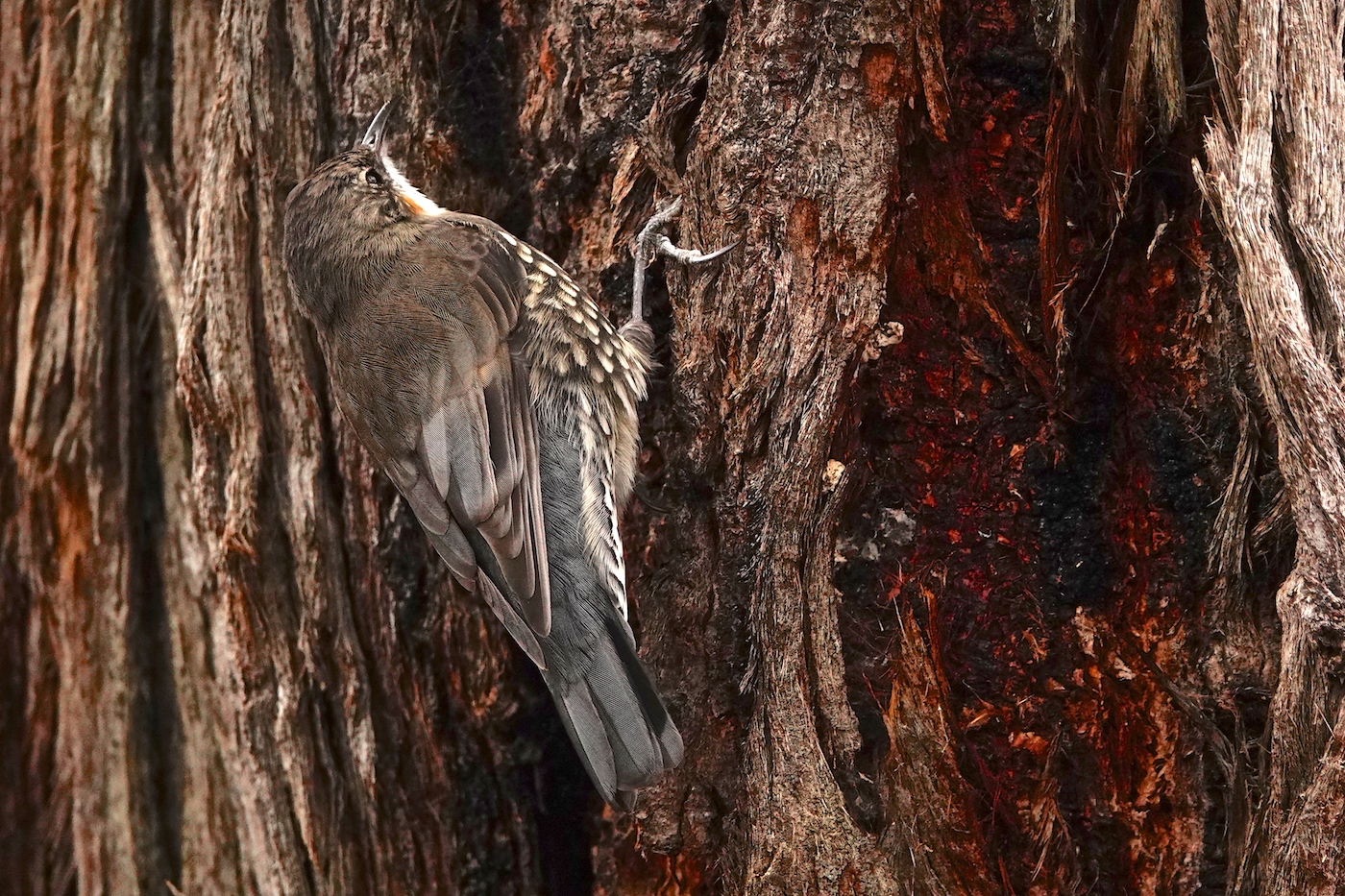 White-throated Treecreeper (Image ID 35514)