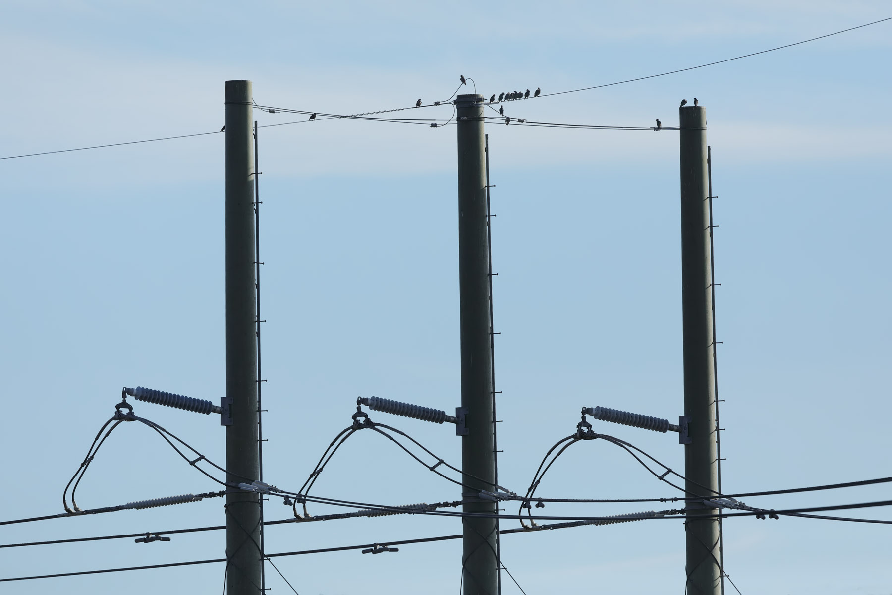 Common Starling (Image ID 35311)