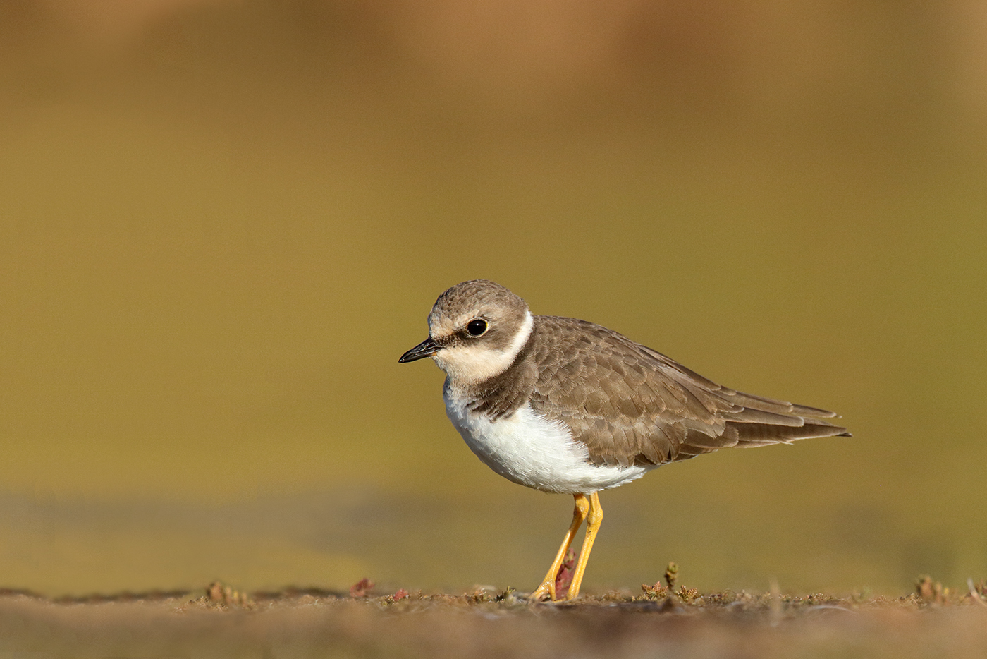 Little Ringed Plover (Image ID 35179)