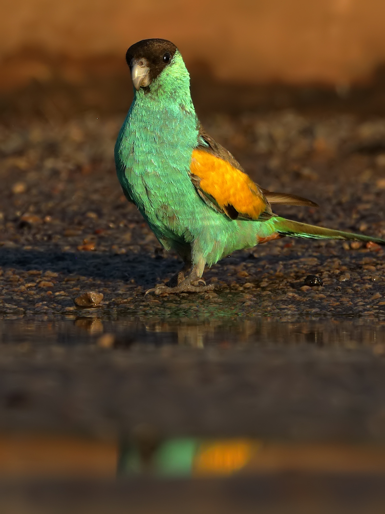 Hooded Parrot (Image ID 35454)
