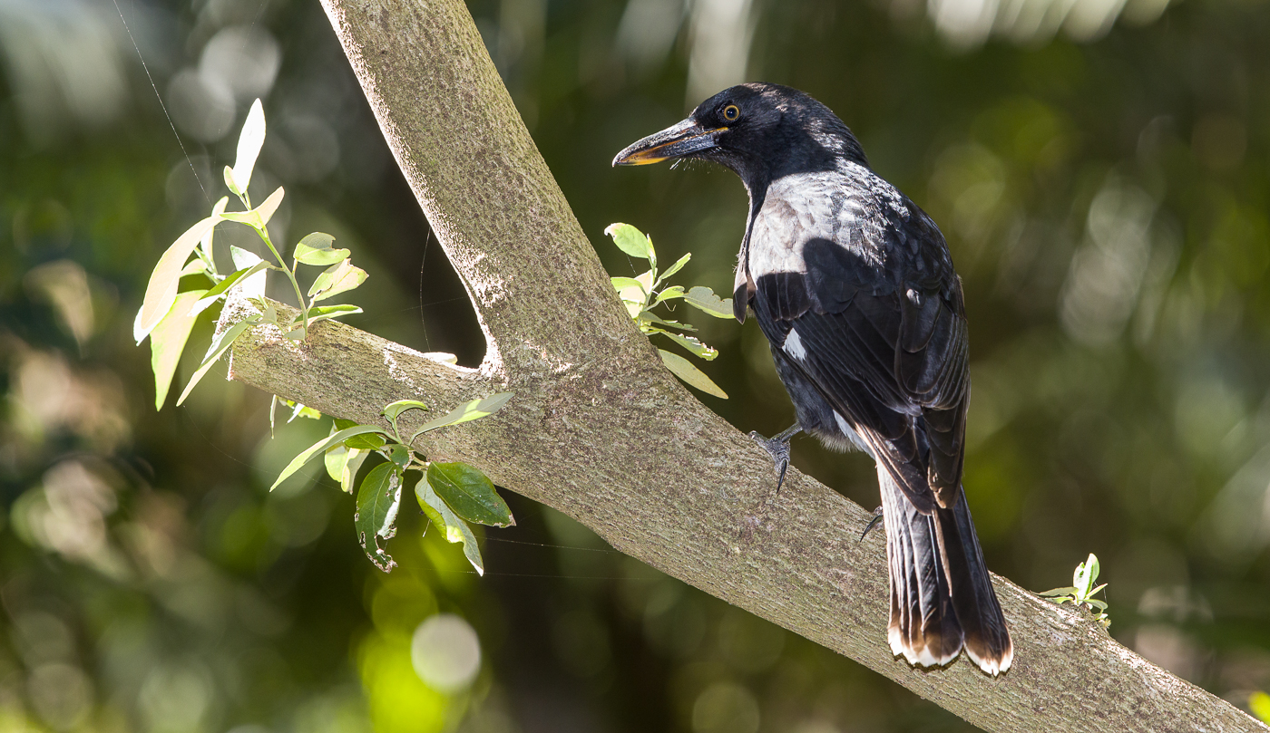 Pied Currawong (Image ID 35528)