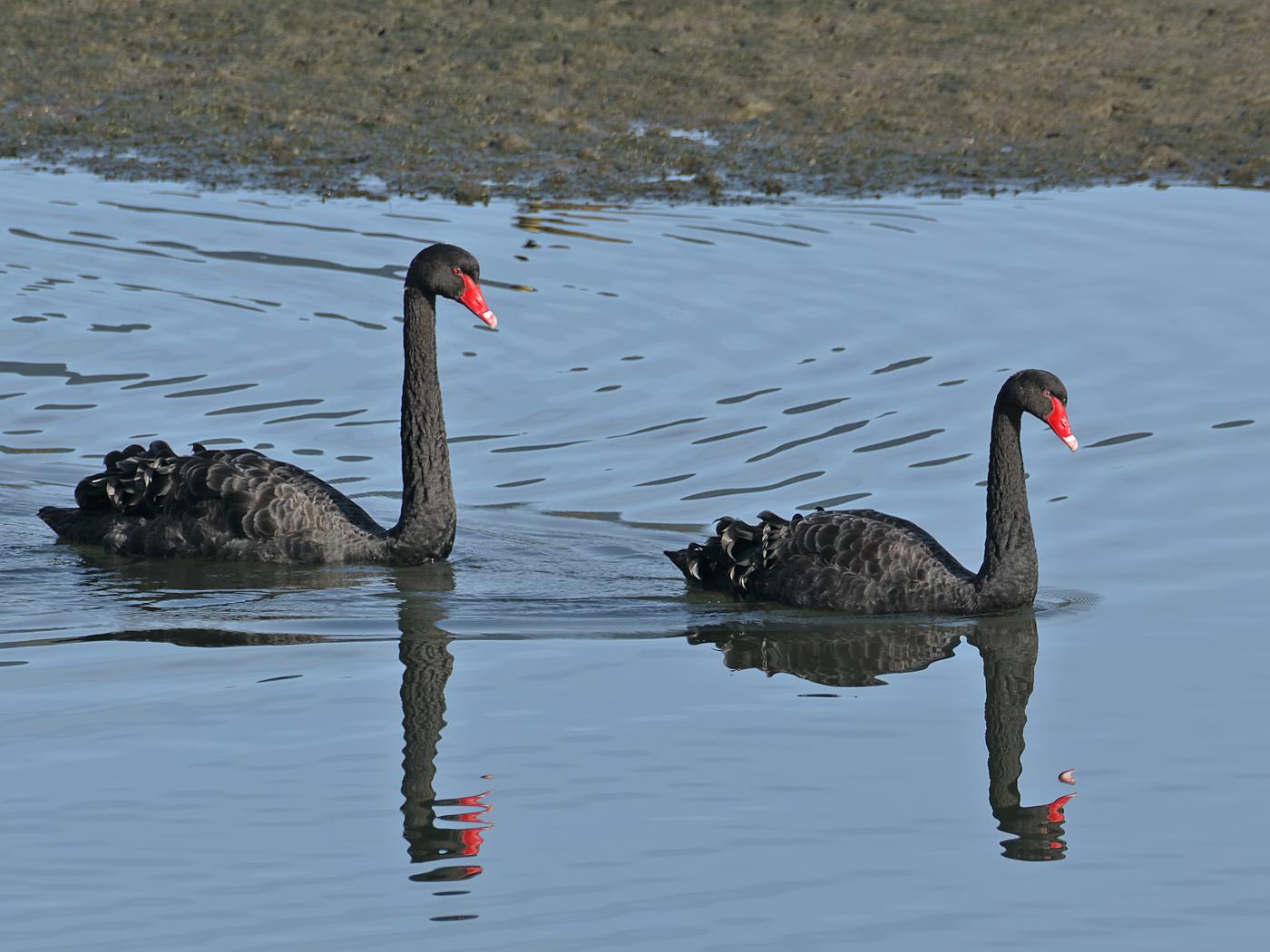 Black Swan (Image ID 35113)