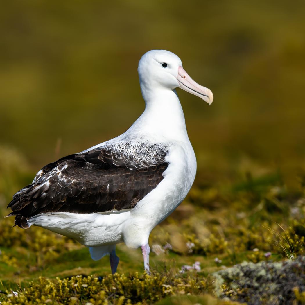 Southern Royal Albatross (Image ID 35143)