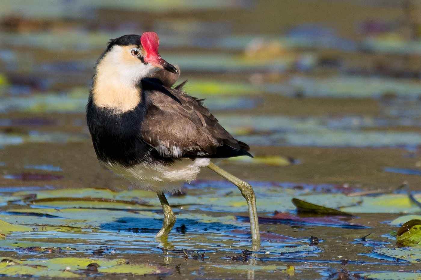 Comb-crested Jacana (Image ID 35412)