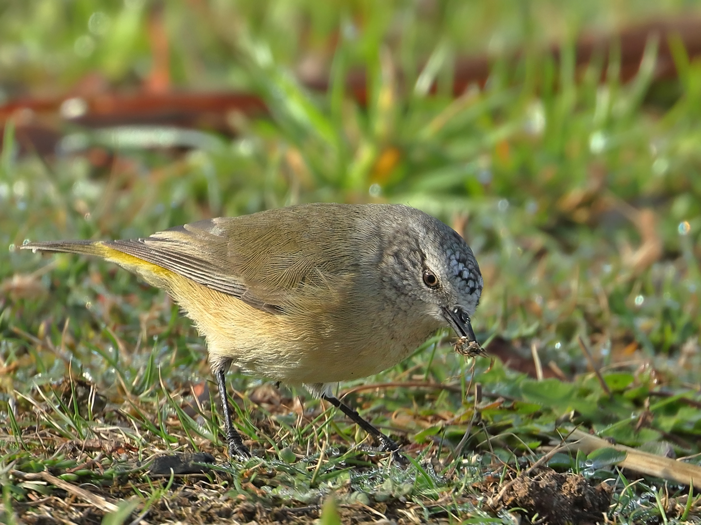 Yellow-rumped Thornbill (Image ID 35112)