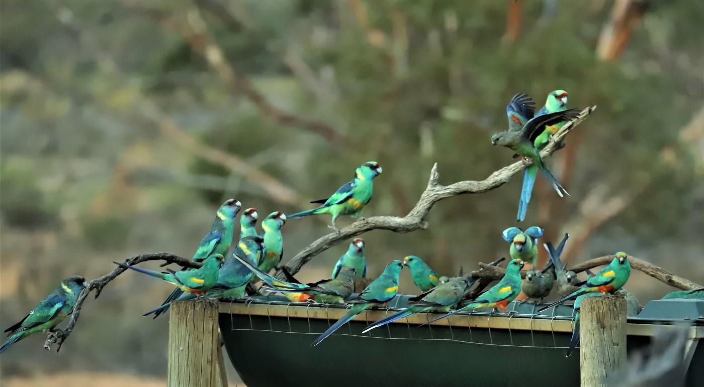 Australian Ringneck,Mulga Parrot (Image ID 35402)