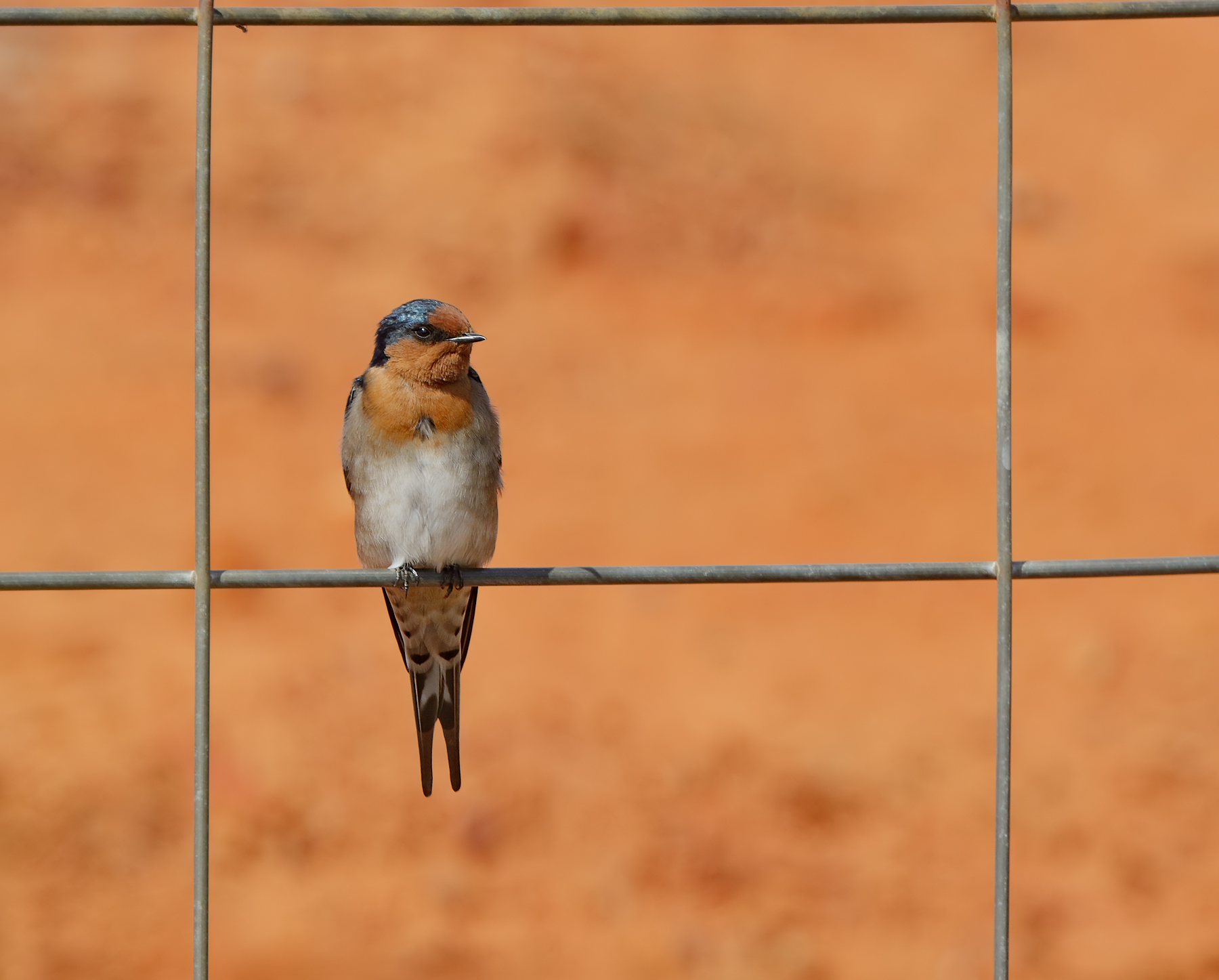 Welcome Swallow (Image ID 35182)