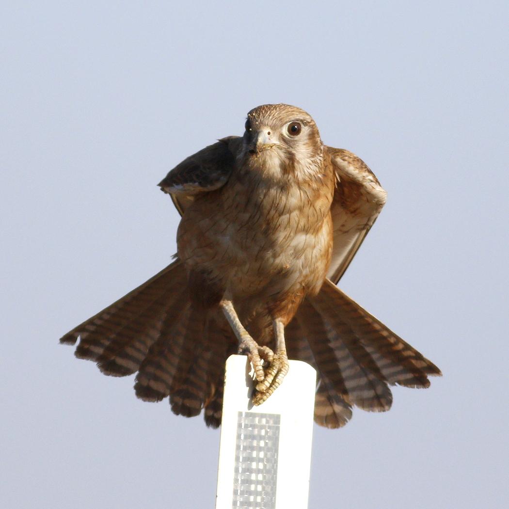 Brown Falcon (Image ID 35209)