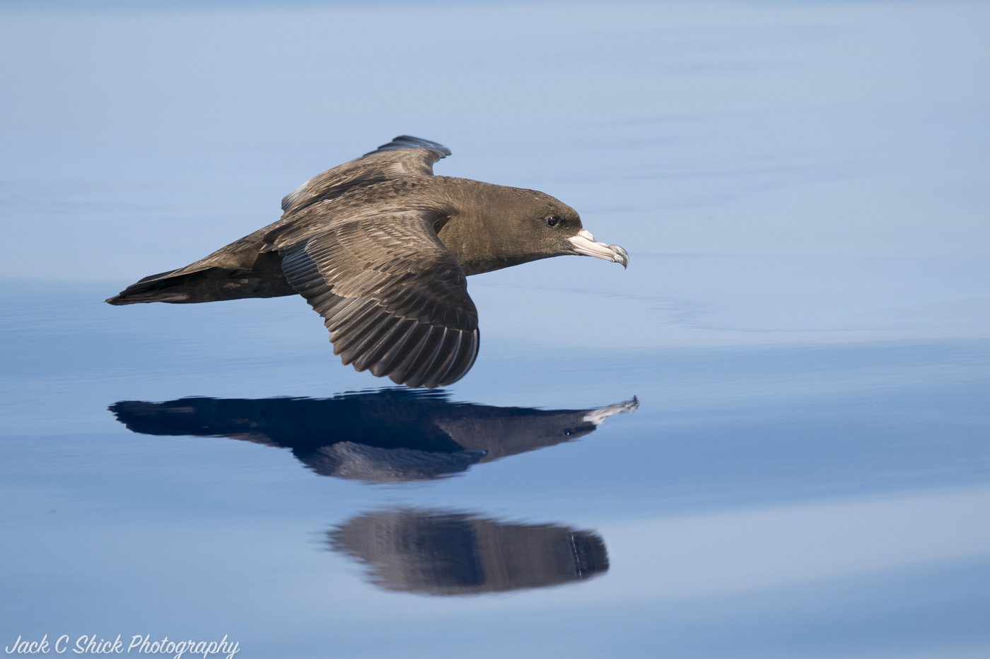 Flesh-footed Shearwater (Image ID 35265)