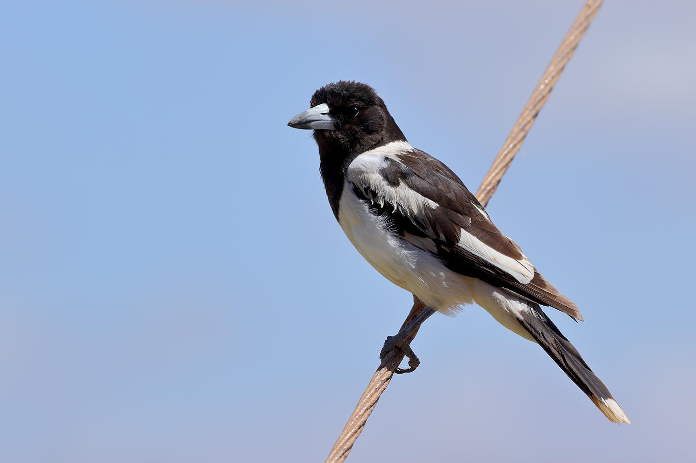Pied Butcherbird (Image ID 35515)