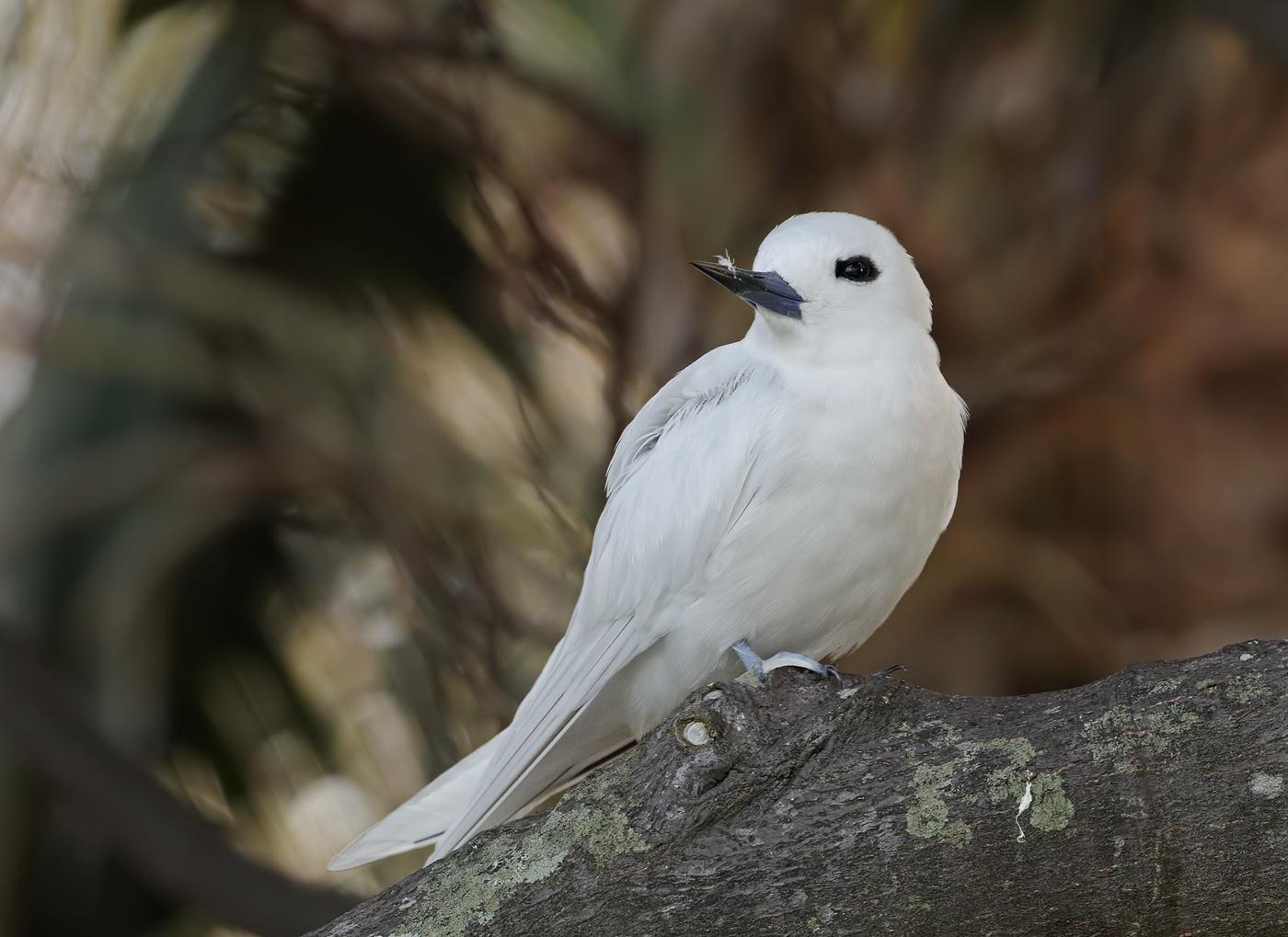 White Tern (Image ID 35131)